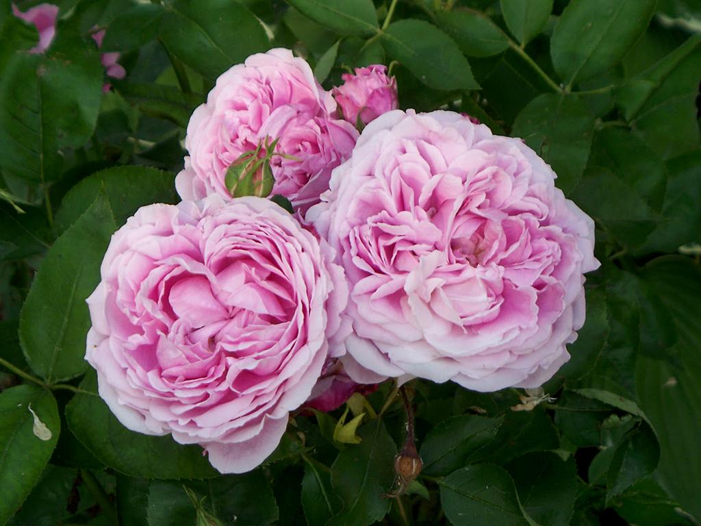 Fiori Tipo Rose.Archiduchesse Elizabeth D Autriche Cascina Vicentini