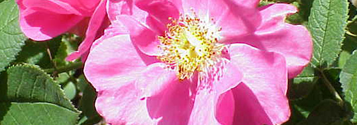 Rose Galliche