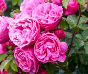 Rose Portland