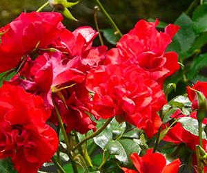 Rose Floribunde