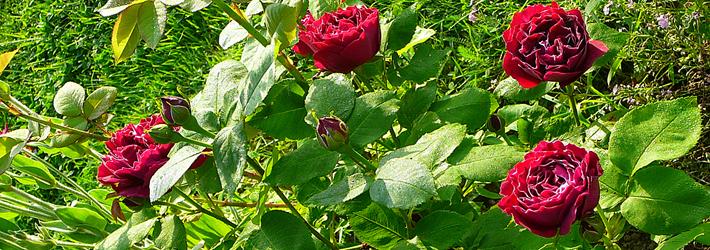 Rose Ibridi Perenni