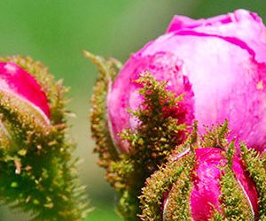 Rose Muscose