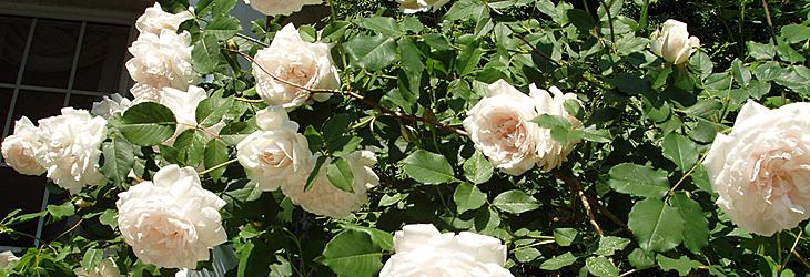 Rose rampicanti archivi cascina vicentini for Roselline in vaso